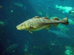 Sequencing of cod genome reveals unique immune system characteristic