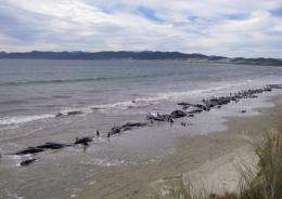 This handout photo taken on February 20, 2011 by New Zealand's Department of Conservation shows pilot whales stranded