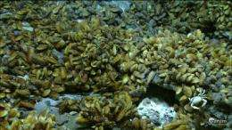Researchers discover hydrogen-powered symbiotic bacteria in deep-sea hydrothermal vent mussels