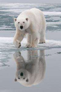 Ancestry of polar bears traced to Ireland
