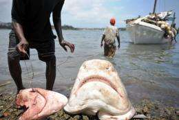 File photo shows a fisherman attempting to retreive his hooks from the mouths of two sharks