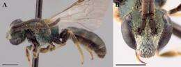 Researcher identifies 11 new sweat bee species