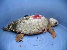 Two studies map pollutant threats to turtles