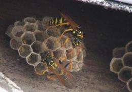 Scientists find a new species of fungus -- in a wasp nest