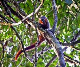 Scientists discover new monkey species in Amazon