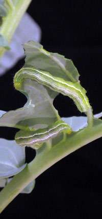 Researchers identify insect resistance to Bt pesticide
