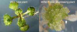 New transcription factor reveals molecular mechanism for wound-induced organ regeneration
