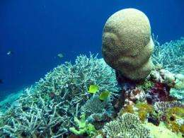 A bed of branching coral shows the effects of bleaching in Indonesia's Wakatobi archipelago