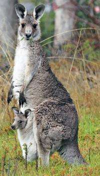 Adoptions and offspring swapping stun kangaroo researchers