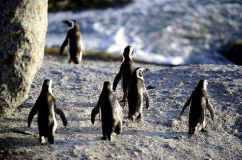 African penguins are one of the world's 18 penguin species