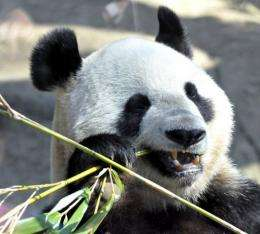 A giant panda can normally live for 22 years in captivity
