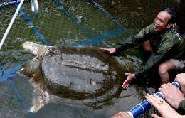 A giant soft-shell turtle, considered a sacred symbol of Vietnamese independence, is guided into a cage