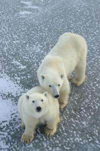 Ancestry of polar bears traced to Ireland