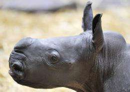 A newly-born rhino baby checks out her indoor enclosure in the zoo of Muenster