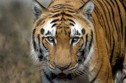 An Indian Bengal Tiger (Panthera tigris) walks in its enclosure at the Zoological park in New Delhi