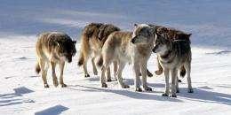 An isle royale wolves' gene pool