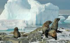 Antarctic fur seals breed where they were born