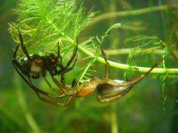 Diving bell spiders