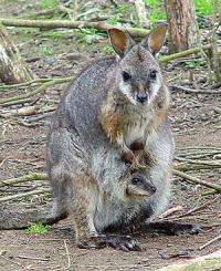 Australian mammals take on antibiotic-resistant bugs