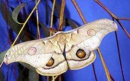 'Barcoding blitz' on Australian moths and butterflies