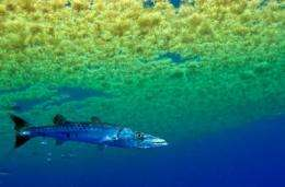 Barracuda babies: Novel study sheds light on early life of prolific predator