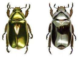Beetle bling: Researchers discover optical secrets of 'metallic' beetles