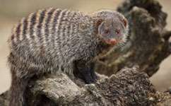 Being a dominant breeder is costly for female banded mongooses