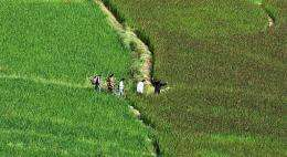 Bhutanese villagers walk through the paddy fields in Paro