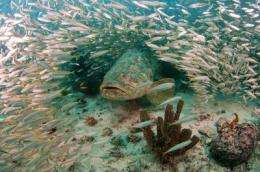 Biologists fish for reasons behind endangered grouper's comeback