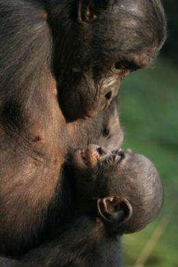 Bonobos and Chimpanzees