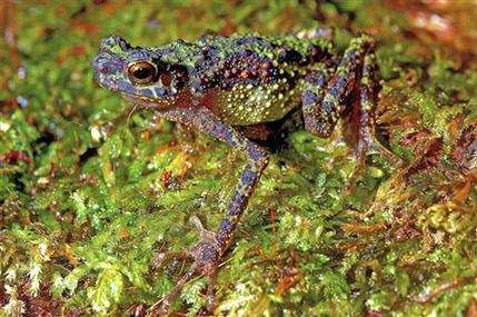 Borneo rainbow toad seen for 1st time in 87 years (AP)