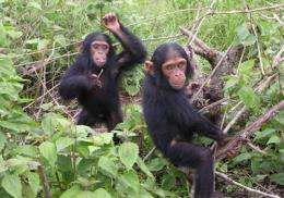 Chimpanzee study sheds light on natural history of HIV