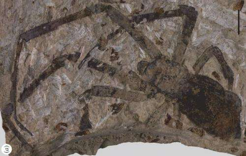 Largest spider fossil found in China