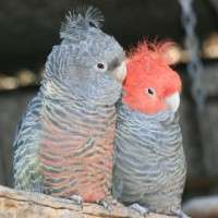 Cockatoos' family history revealed through DNA