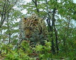 Critically endangered Amur leopards captured on video