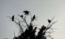 Crows are a major nuisance in many Japanese cities, particularly Tokyo, where they rummage through rubbish