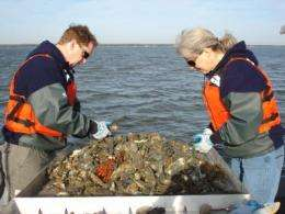 Disease-resistant oysters call for shift in Bay restoration strategies
