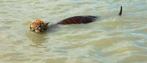 Dolphin conservationists save tigers in Bangladesh