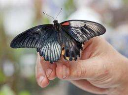 Dual-sex butterfly hatches at Natural History Museum