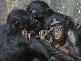 Female bonobos play together at the Planckendael zoo in Belgium