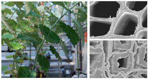 First-of-a-kind tension wood study broadens biofuels research