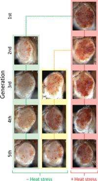Flies can pass the effects of stress to their young in the form of chromosomal modifications that alter expression of selected g