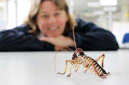 For male weta, big is better