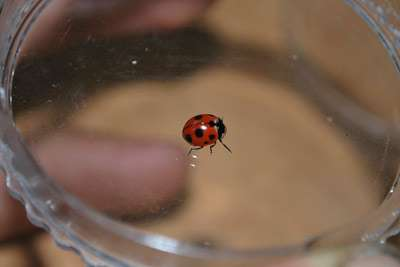 Found in New York at long last: nine-spotted ladybugs