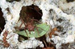 Fungus farming ant genome reveals insight into adaptation of social behavior