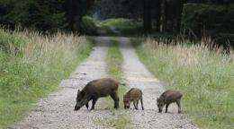 Germany's radioactive boars a legacy of Chernobyl (AP)