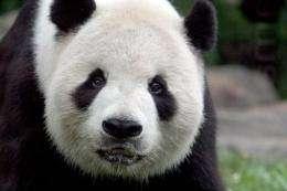Giant Panda Tian Tian relaxes in his habitat at the National Zoo