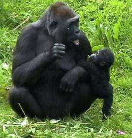 Gorillas' right-handedness gives new clues to human language development
