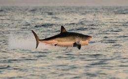 Great white shark is listed as vulnerable and has been protected in New Zealand waters since 2007