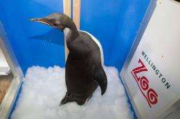 Happy Feet was loaded onto the New Zealand research ship Tangaroa in a custom-made insulated crate for the ride home